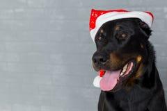Tête de chien française avec la langue traînant dans le chapeau du père noël, copyspace image libre de droits