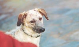 Tête de chien noire et blanche de métis de chiot Photographie stock