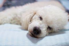 Tête de chien de sommeil Photographie stock