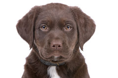 Tête de chiot de chien d'arrêt de Labrador de chocolat Images libres de droits