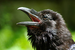 Tête de corbeau Photographie stock