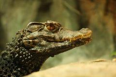 Tête de crocodile Image libre de droits