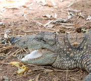 Tête de crocodile Photo stock