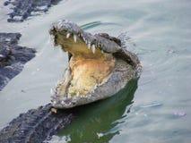 Tête de crocodile Photographie stock libre de droits