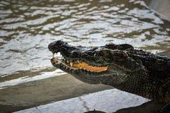 Tête de crocodile de détail avec des dents sur l'eau Photo stock