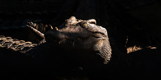 Tête de crocodile d'eau de mer photo libre de droits