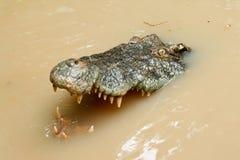 Tête de crocodile dans l'eau Photos libres de droits