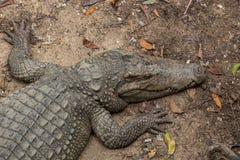 Tête de crocodile et plan rapproché de corps Image libre de droits