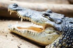 Tête de crocodile mexicain Images libres de droits