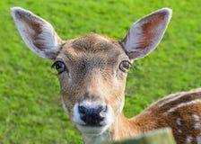 Tête de daine de cerfs communs Images stock