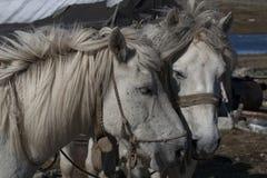 Tête de deux chevaux blancs ensemble Photos libres de droits