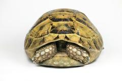 Tête de dissimulation de tortue jaune Photographie stock libre de droits
