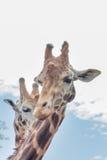 Tête de duo de girafe tirée - verticale Photographie stock libre de droits