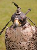 Tête de faucon Photographie stock
