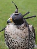 Tête de faucon Photos libres de droits