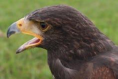 Tête de faucon Photo stock
