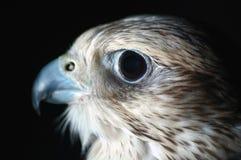 Tête de faucon Images libres de droits