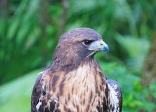 Tête de faucon coupé la queue par rouge de la Floride Photo libre de droits