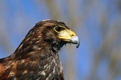 Tête de faucon de Harris Image stock