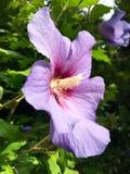 Tête de fleur avec le pollen d'une ketmie pourpre Photo stock