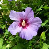 Tête de fleur avec le pollen d'une ketmie pourpre Image stock