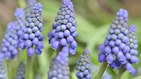 Tête de fleur de fleur bleue de fleur de jacinthe de raisin le printemps banque de vidéos