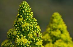 Tête de fleur d'aeonium Image stock