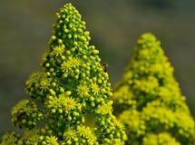 Tête de fleur d'aeonium Images stock