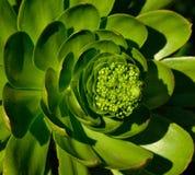 Tête de fleur d'aeonium géant Photographie stock