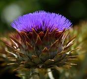 Tête de fleur d'artichaut sauvage Photo libre de droits
