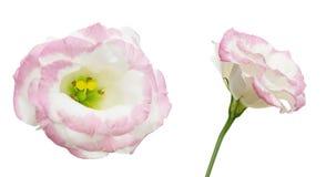 Tête de fleur d'eustoma Photographie stock libre de droits