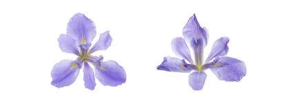 Tête de fleur d'iris à un arrière-plan blanc photo stock