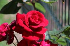 Tête de fleur d'une rose rouge dans le jardin dans le repaire aan IJssel de Nieuwerkerk Images stock