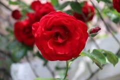 Tête de fleur d'une rose rouge dans le jardin dans le repaire aan IJssel de Nieuwerkerk Photo libre de droits