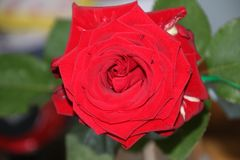 Tête de fleur d'une rose rouge dans le jardin dans le repaire aan IJssel de Nieuwerkerk Photographie stock libre de droits