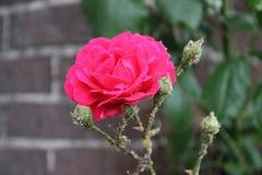 Tête de fleur d'une rose rouge dans le jardin dans le repaire aan IJssel de Nieuwerkerk Photo stock