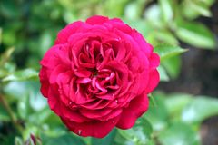 Tête de fleur d'une rose rouge dans le jardin dans le repaire aan IJssel de Nieuwerkerk Photos libres de droits