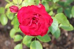 Tête de fleur d'une rose rouge dans le jardin dans le repaire aan IJssel de Nieuwerkerk Image stock
