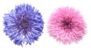 Tête de fleur de bleuet photographie stock