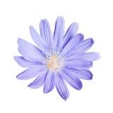 Tête de fleur de chicorée d'isolement sur le blanc Photographie stock