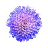 Tête de fleur de Knautia d'isolement sur le fond blanc Images libres de droits