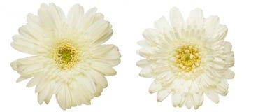 Tête de fleur de la marguerite du Transvaal Image stock