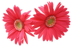 Tête de fleur de la marguerite du Transvaal Images stock