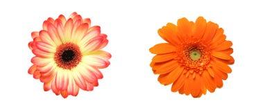 Tête de fleur de la marguerite du Transvaal Photos libres de droits