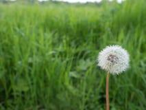 Tête de fleur de pissenlit avec le paysage vert de backround Photo libre de droits