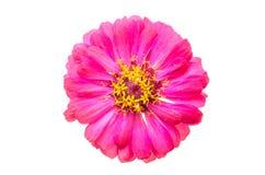 Tête de fleur de zinnia Photographie stock