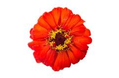 Tête de fleur de zinnia Images libres de droits