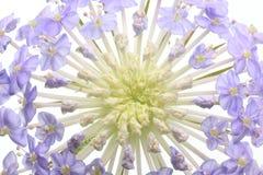Tête de fleur des fleurs de pelote à épingles Photos libres de droits