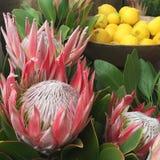 Tête de fleur du Roi Protea Photographie stock libre de droits