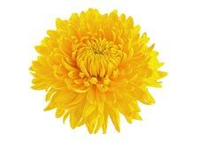 Tête de fleur jaune de chrysanthème Photographie stock libre de droits